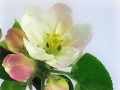 Apple flowers NTSC - stock footage