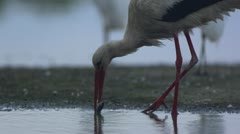 Stock Video Footage of White Stork catching fish_02