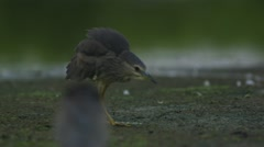 Young Night Heron takeoff Stock Footage