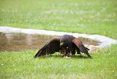 Brown falcon eating on grass Stock Photos