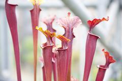 close up of sarraceniaceae - stock photo