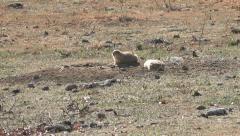 Prairie Dogs IV Stock Footage