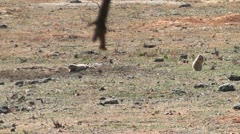 Two Prairie Dogs Bark Stock Footage