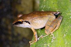 Peruvian rain frog (pristimantis peruvianus). male in calling position, ecuad Stock Photos