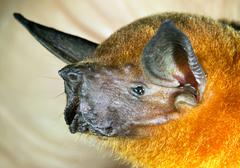 greater fishing bat (noctilio leporinus), ecuador - stock photo
