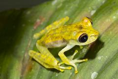 a juvenile gunther's banded treefrog (hypsiboas fasciatus), ecuador - stock photo