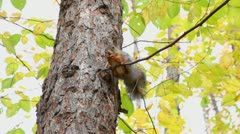 Squirrel sits on branch with nut and then climbs on top of tree Stock Footage