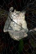 Jamaican fruit bat (artibeus jamaicensis) captured in a mist net for biologic Stock Photos