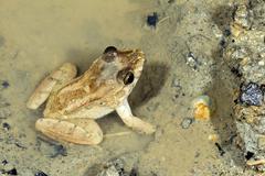 Dwarf jungle frog (leptodactylus wagneri) in a muddy puddle, ecuador Stock Photos