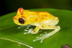 Juvenile nymph treefrog (hypsiboas nympha) on a rainforest leaf, ecuador Stock Photos