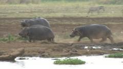 Stock Video Footage of HIPPOPOTAMUS CHASE