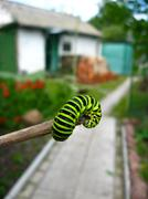 caterpillar of the butterfly  machaon - stock photo