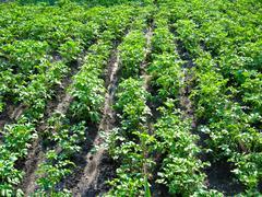 kitchen garden of the ascended potato - stock photo