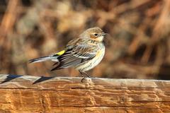 Yellow-rumped warbler (dendroica coronata) Stock Photos