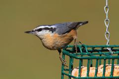 Red-breasted nuthatch on a feeder Stock Photos
