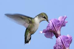 Juvenile ruby-throated hummingbird (archilochus colubris) Stock Photos