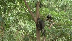 BLUE MONKEYS Stock Footage