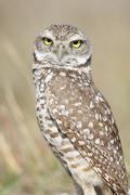 Burrowing owl (athene cunicularia) Stock Photos