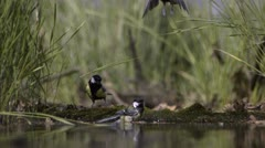 Three Great Tits at waterhole_01 Stock Footage