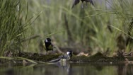 Stock Video Footage of Three Great Tits at waterhole_01