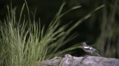 Chaffinch taking off_01 Stock Footage