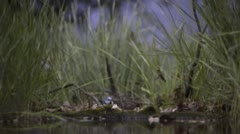 Blue Tits flying over waterhole Stock Footage