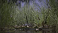 Stock Video Footage of Blue Tits flying over waterhole
