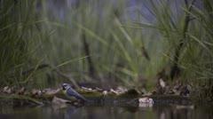 Blue Tit taking bath_05 Stock Footage