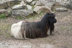 Valais blackneck goat resting on the ground Stock Photos