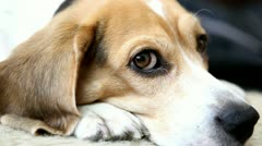 Cute beagle Stock Footage