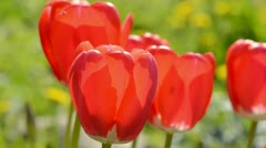 Spring red tulips and wind  background Stock Footage