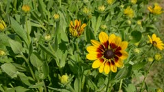 Rudbeckia flowers in farm garden Stock Footage