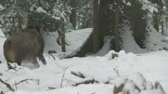 Wild boar in winter Stock Footage