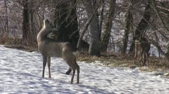 Roe deer (Capreolus capreolus) eating apple branch buds in garden Stock Footage