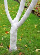 Fruit tree wound by spunbond round against rodents in the autumn garden Stock Photos