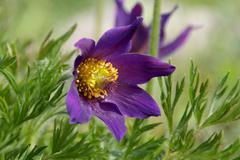 Pasque Flower, Pulsatilla Rubra - stock photo