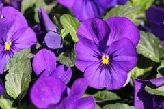 Purple Pansy Flowers Stock Photos