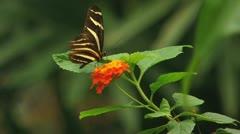 Butterfly on orange flower Stock Footage