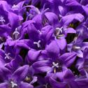 Violet campanulas Stock Photos