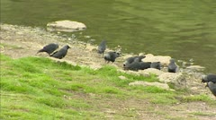 Western Jackdaw, Corvus monedula, foraging at lakeside Stock Footage
