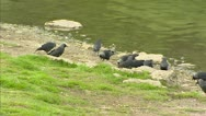 Stock Video Footage of Western Jackdaw, Corvus monedula, foraging at lakeside