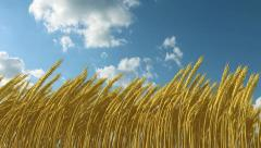 Growing wheat against the sky Stock Footage