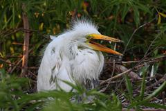 Baby great egret (ardea alba) Stock Photos