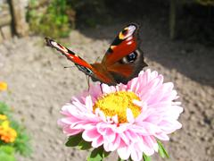 butterfly of peacock eye sitting on the aster - stock photo