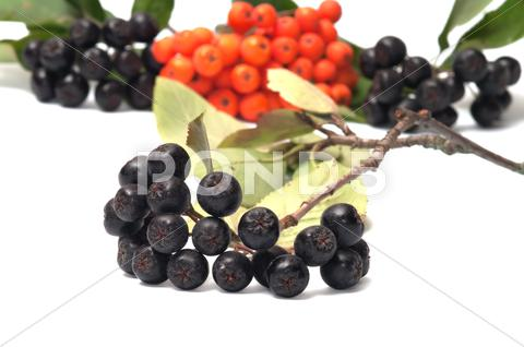 Stock photo of aronia and ashberry.