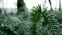 Wintry ferns in oak forest, coated with hoar frost, Pacific Northwest Stock Footage