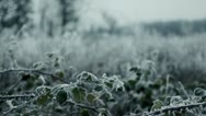 Stock Video Footage of Blackberry vines in wintery countryside with hoar frost, Pacific Northwest