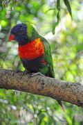 a rainbow lorikeet in a tree - stock photo