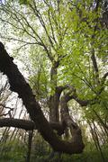 Beech Tree - stock photo