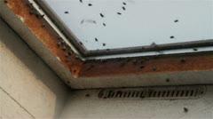 Flies swarm at window, close up Stock Footage